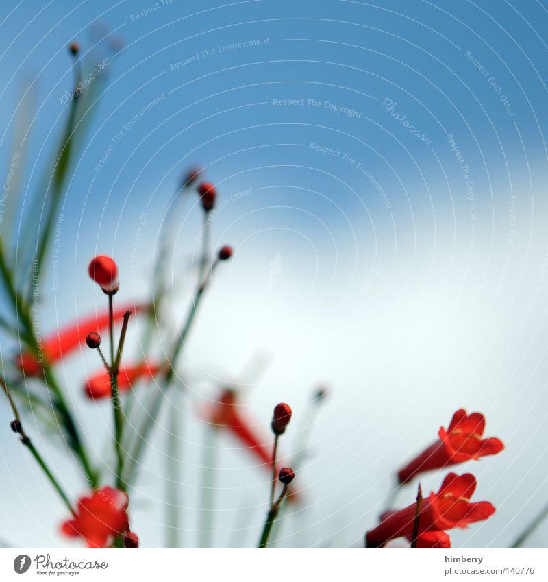 sorry story Blume Makroaufnahme Blüte Detailaufnahme weiß violett Blütenknospen Blattknospe Blütenblatt Botanik Natur Sommer Frühling frisch Gartenbau Wachstum