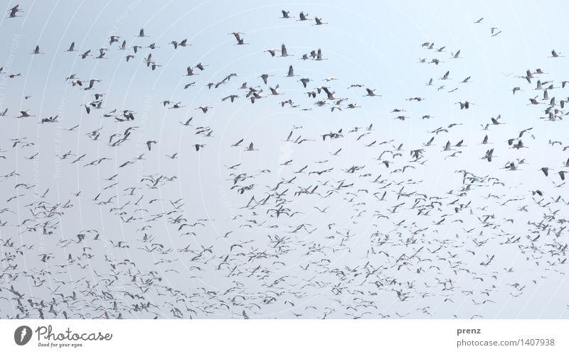 Kraniche Himmel Natur blau Tier Umwelt Herbst fliegen Vogel Wildtier Schönes Wetter fliegend Schwarm Kranich Storchendorf Linum