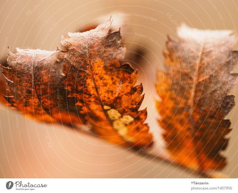 Herbstblätter Umwelt Natur Pflanze Baum Blatt Park Wald schön ruhig Farbfoto Gedeckte Farben Außenaufnahme Makroaufnahme Menschenleer Tag Schwache Tiefenschärfe