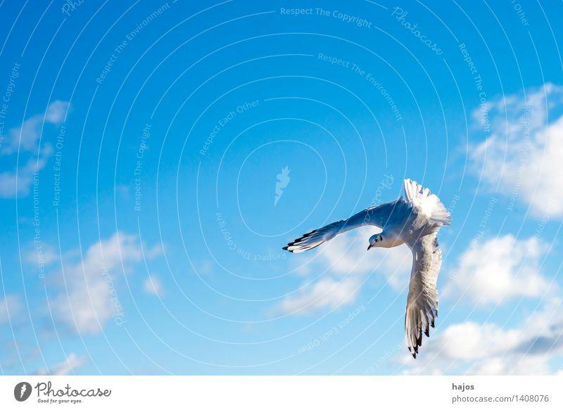 Lachmöwe beim Flug Tier Ostsee Wildtier Vogel 1 fliegen maritim blau Möwe Himmel einzeln flügel verdreht Farbfoto Außenaufnahme Menschenleer Textfreiraum links