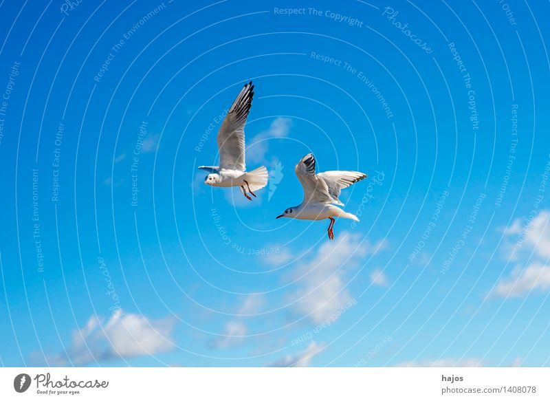 Lachmöwe beim Flug Tier Ostsee Wildtier Vogel 2 fliegen maritim blau Möwe Himmel Farbfoto Außenaufnahme Menschenleer Textfreiraum links Textfreiraum unten