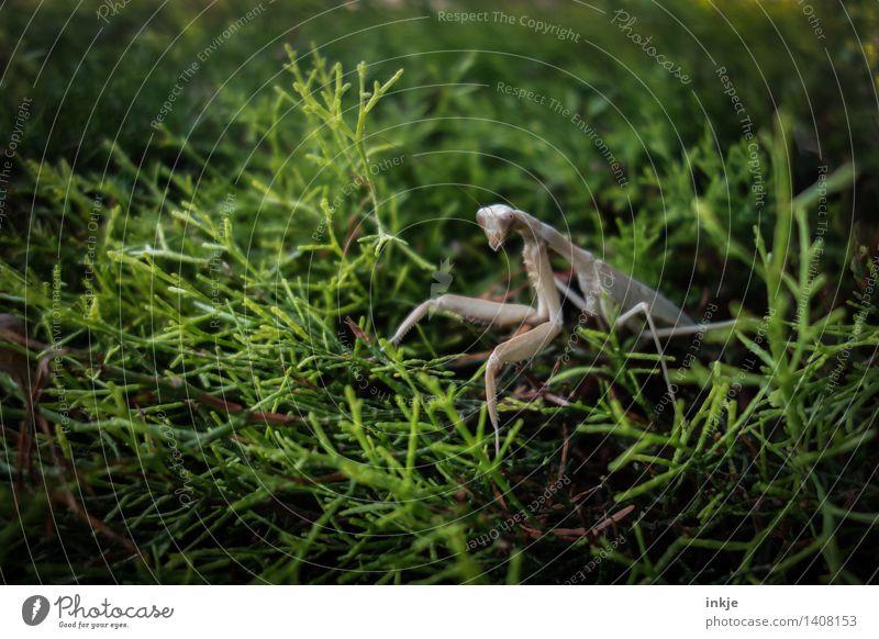 Die Gottesanbeterin auf der Hecke. Natur Pflanze grün Sommer Blatt Tier Herbst klein Garten außergewöhnlich Park Wildtier beobachten dünn Insekt Ekel