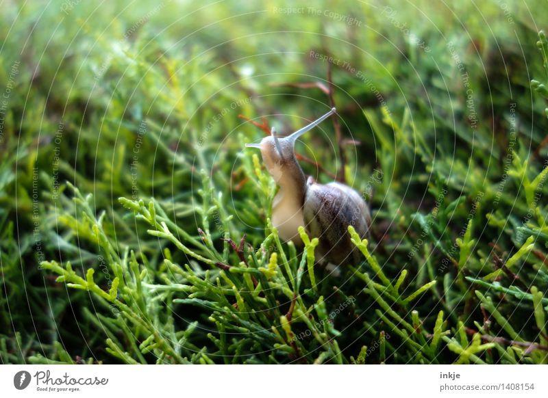 Die Schnecke auf der Hecke. Pflanze Tier Sommer Herbst Grünpflanze Garten Park Wald Wildtier 1 grün Natur krabbeln Farbfoto Außenaufnahme Nahaufnahme
