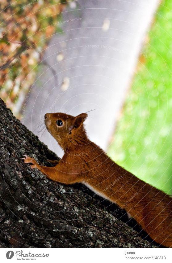 Rind-Viech Aktion Auge Baum Eichhörnchen Baumstamm braun buschig Europa Fell frech frei Freeclimbing Klettern Mut Nagetiere Natur Neugier niedlich Pfote