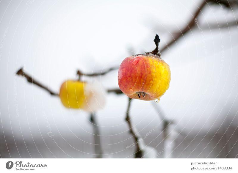 hängen geblieben Lebensmittel Frucht Apfel Ernährung Gesunde Ernährung Garten Landwirtschaft Forstwirtschaft Herbst Winter Apfelbaum Feld warten gelb rot weiß
