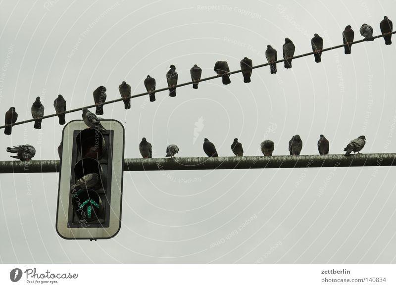 Ungefähr zwei Dutzend Tauben Ampel sitzen Pause Erholung Verkehr Verkehrszeichen rot grün stoppen Straßenverkehr fliegen Standort Herbst Sammlung hängenbleiben
