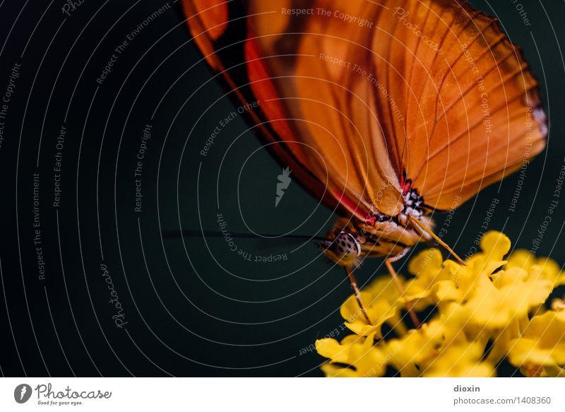 butterfly sucks [1] Blume Urwald Wildtier Schmetterling Insekt Tier Fressen klein natürlich Natur saugen Saugrüssel Farbfoto Innenaufnahme Nahaufnahme