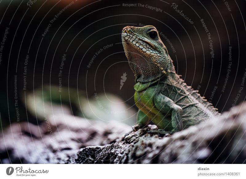 Reptil Natur Tier Umwelt natürlich Wildtier exotisch Reptil Echsen