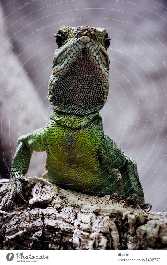 Chef Urwald Tier Wildtier Zoo Echsen Terrarium 1 beobachten sitzen warten exotisch grün Natur Reptil Farbfoto Innenaufnahme Menschenleer Tierporträt Blick