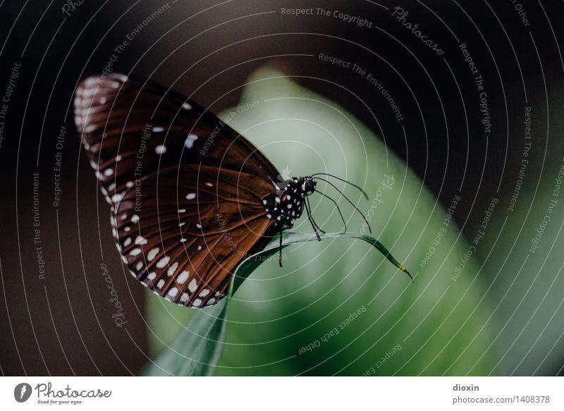baby, wenn ich down bin Umwelt Natur Pflanze Tier Blatt Urwald Schmetterling Flügel Insekt Fühler 1 sitzen klein natürlich Farbfoto Nahaufnahme Makroaufnahme