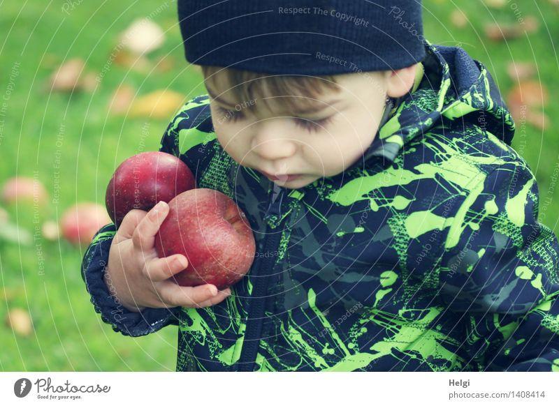 kleiner Junge in schwarz-grüner Jacke hält zwei dicke rote Äpfel in der Hand und schaut nach unten Frucht Apfel Bioprodukte Mensch maskulin Kind Kleinkind