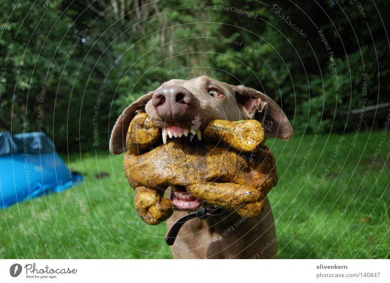Dobermann...äh Frau, im Glück schön Spielen Hund Garten Nase Geschwindigkeit Spielzeug Säugetier beißen Treue gehorsam Biss Gummitier Fehlfarbe