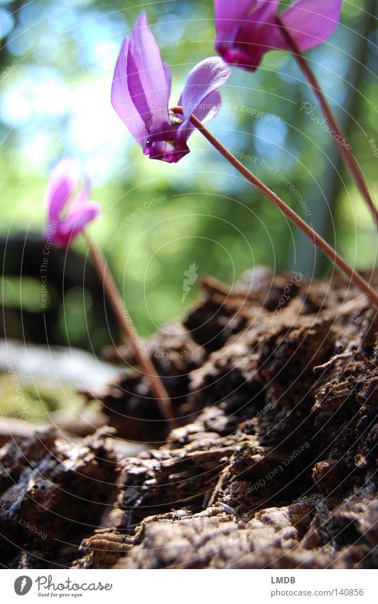 Köpfchen hoch! Blume Blüte Alpenveilchen Veilchengewächse Duftveilchen rosa Rose Pflanze geheimnisvoll verborgen Unschärfe unklar violett schön matt Pastellton