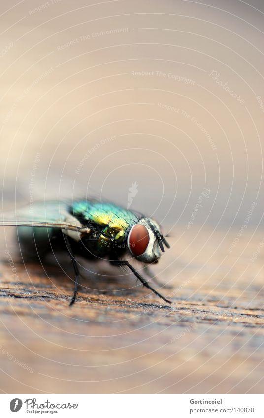Lord Fly Natur Sommer Tier Farbe Holz Beine Fliege fliegen Flügel Insekt Regenbogen Fühler schimmern Rüssel Elefant Fleischfresser