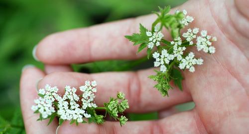 Sanftes Grün schön Haut harmonisch Sinnesorgane Sommer feminin Frau Erwachsene Hand Finger Natur Pflanze Frühling Blume Blüte berühren festhalten frisch grün