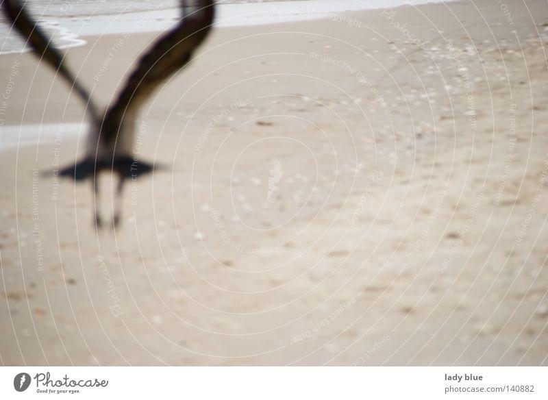 Flucht Rabenvögel fliegen Strand Meer Ostsee Usedom schwarz Feder Sand Unschärfe Vogel Insel Sommer Küste Luftverkehr Inselwelten