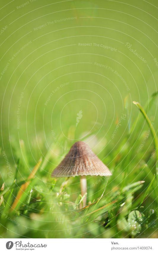 so klein mit Hut² Natur Pflanze Herbst Gras Pilz Wiese Wachstum braun grün Farbfoto mehrfarbig Außenaufnahme Nahaufnahme Makroaufnahme Menschenleer