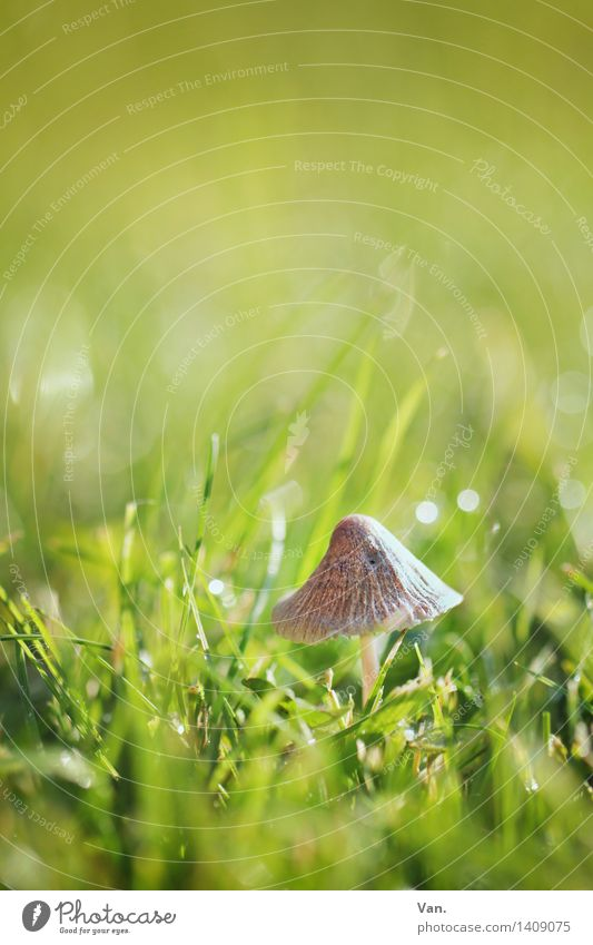 so klein mit Hut Natur Pflanze Herbst Gras Pilz Wiese glänzend braun grün Tau Halm Farbfoto mehrfarbig Außenaufnahme Makroaufnahme Menschenleer