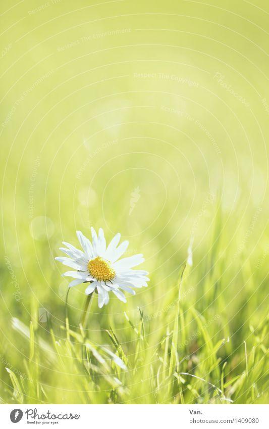 Gänse(gedenk)blümchen Umwelt Natur Pflanze Frühling Blume Gras Blüte Garten Wiese Wachstum hell Wärme grün weiß Farbfoto mehrfarbig Außenaufnahme Makroaufnahme