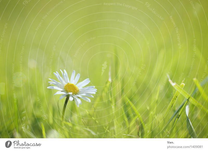 Gänseblümchen Natur Pflanze Sommer Blume Blüte Grünpflanze Wiese grün Farbfoto mehrfarbig Außenaufnahme Nahaufnahme Menschenleer Textfreiraum oben Tag