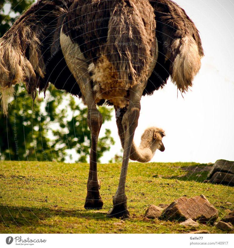 Auf der Suche nach... Strauß Afrika tief Richtung Tier Laufvogel Vogel Feder Kleid Haushuhn lang Körperhaltung Geschwindigkeit Einsamkeit Blick Beine