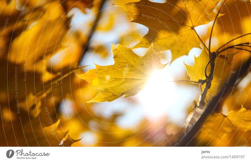 sonnenschein Sonne Sonnenlicht Herbst Schönes Wetter Baum Blatt Wald frisch hell natürlich schön Wärme gelb gold Gelassenheit ruhig Natur Farbfoto Außenaufnahme