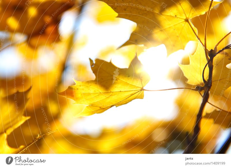 sonntags wetter Pflanze Sonnenlicht Herbst Schönes Wetter Baum Blatt Wald leuchten hell natürlich schön gelb gold Natur Farbfoto Außenaufnahme Nahaufnahme