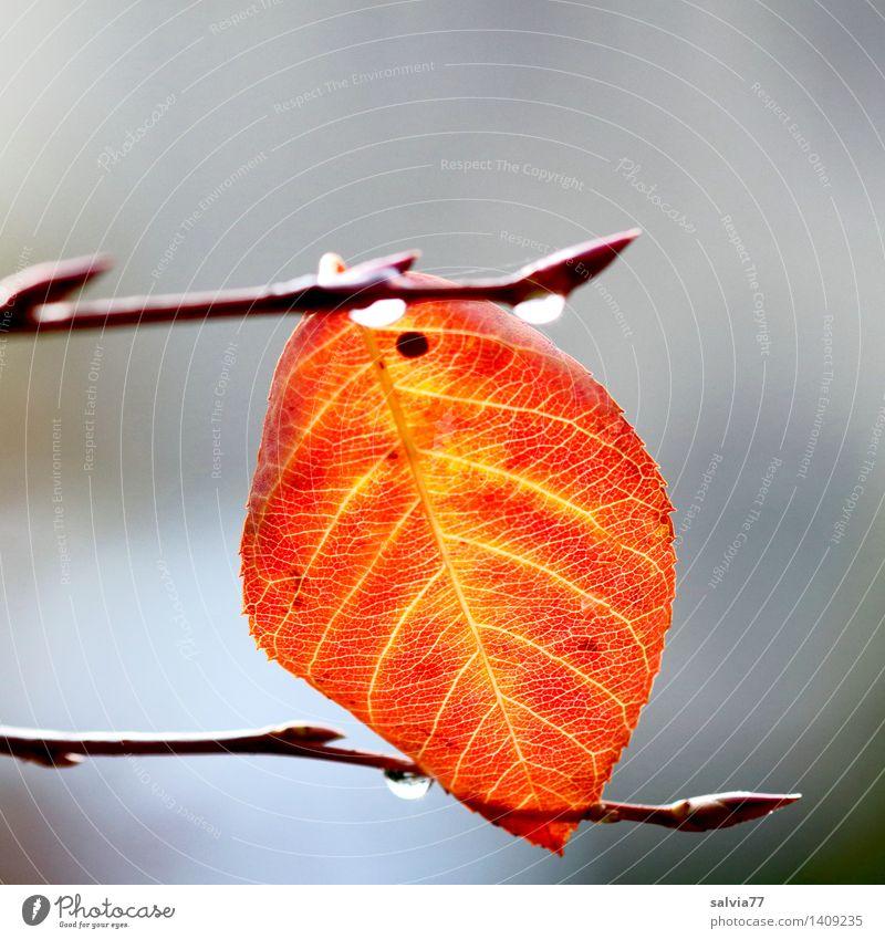 Eingeklemmt Natur Pflanze Herbst schlechtes Wetter Baum Blatt Tropfen Herbstfärbung Blattadern Zweige u. Äste gelb grau orange Einsamkeit Hoffnung Leichtigkeit