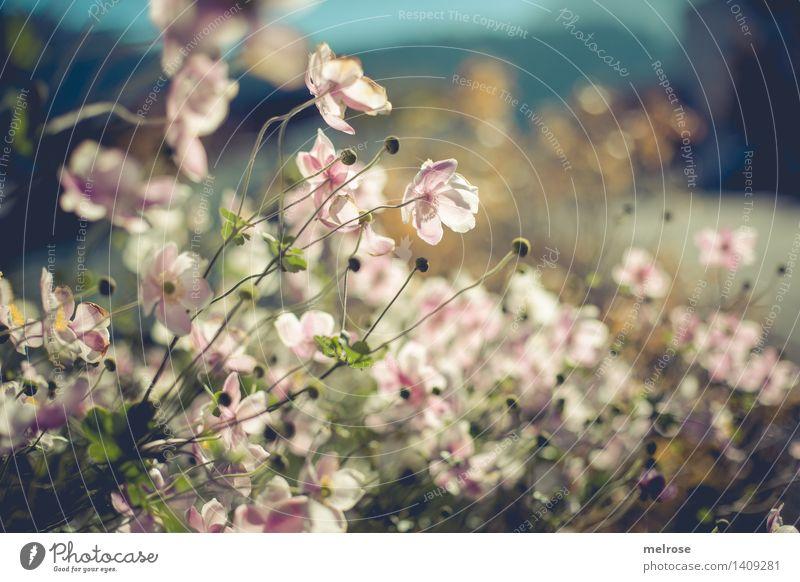 im Gegenlicht elegant Stil Natur Pflanze Herbst Schönes Wetter Sträucher Blatt Blüte Blütenknospen Pflanzenteile Garten Unschärfe Licht Blühend glänzend