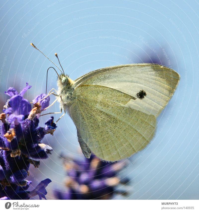 Leicht angeschlagener Weissling an der Nektarbar.... blau grün Blume schwarz gelb Flügel Punkt violett Schmetterling Müdigkeit Fleck Fühler Lavendel Staubfäden