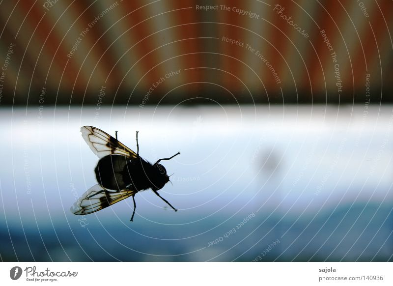 scheibenkleister Fenster Fliege Flügel Streifen weiß Schwebfliege Insekt Beine Kopf gestreift Markise Sonnenblende Sonnenstor orange Fensterscheibe