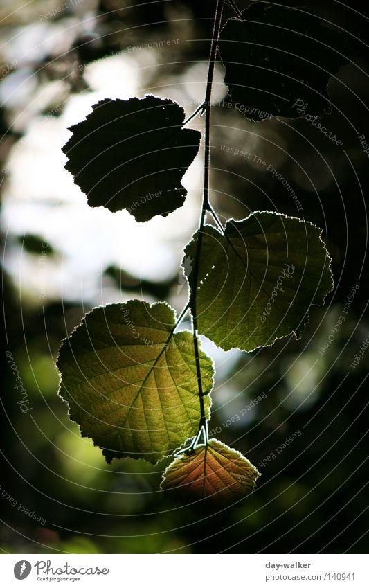 Grünzeug im Gegenlicht Blatt Grünpflanze Pflanze Baum Fußweg Gefäße schimmern Beleuchtung Licht Himmel Berge u. Gebirge Natur Blattrand Reflektion Farbe