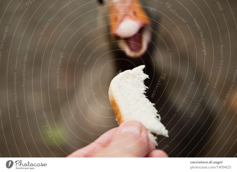 Und ... Zugriff Brot Toastbrot Finger Tier Wildtier Gans 1 Fressen füttern einfach frech Freundlichkeit Fröhlichkeit lecker lustig Neugier niedlich braun orange