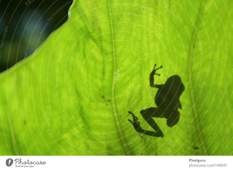 Dendrobates pumilio Froschlurche Panama gefährlich Baumsteiger Frosch Mittelamerika Red Frog Red Frog Beach Bocca del Toro bedrohlich