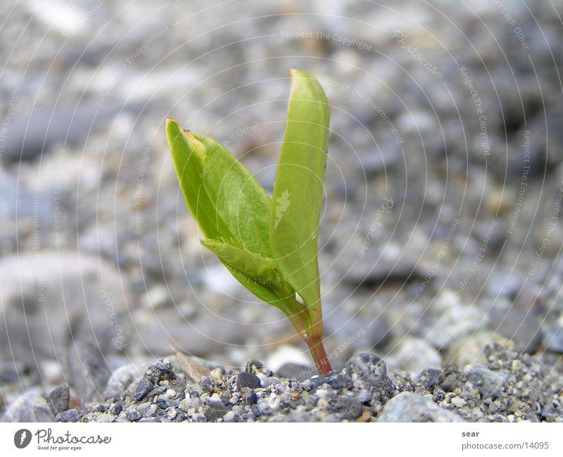 einsam grün Pflanze grau Stein Kies