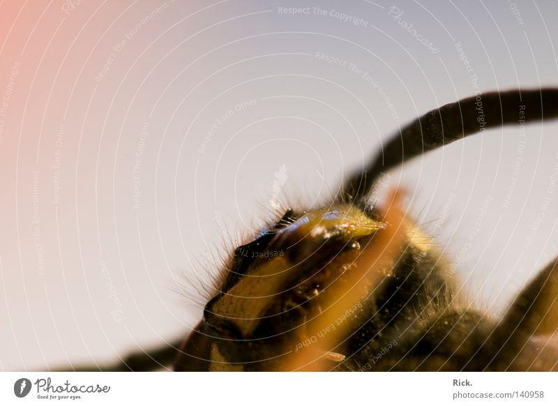 .Rückenschläfer schlafen Tod töten Wespen Hornissen Hautflügler Insekt Tragfläche Flügel fliegen krabbeln Sensenmann Haare & Frisuren Makroaufnahme Prima Auge