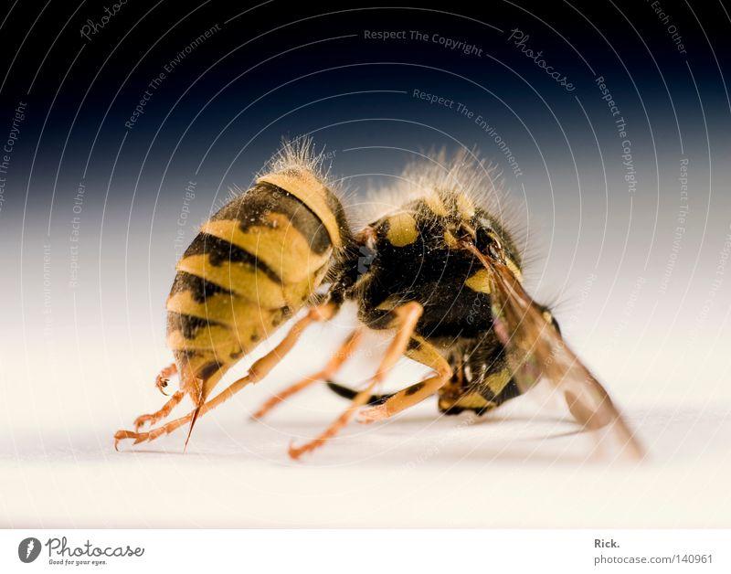 .Leblos schlafen töten Wespen Hornissen Hautflügler Insekt krabbeln Tod Facettenauge Fühler Unschärfe Haken Härchen glänzend Chitin gepanzert Jäger Dieb