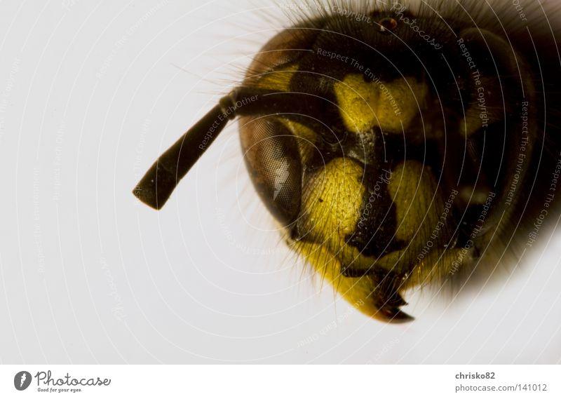 Hungertod schwarz gelb Tod Auge Haare & Frisuren Kopf Angst fliegen gefährlich bedrohlich Biene Insekt Appetit & Hunger Schmerz böse
