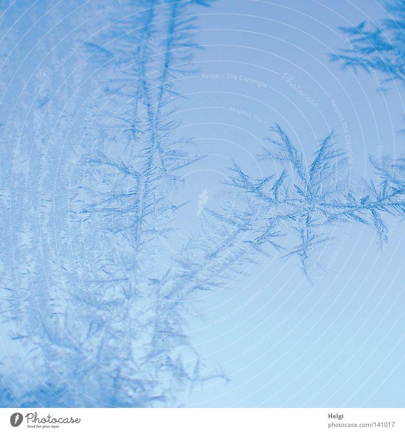 bizarre Eisblumen auf einer Glasscheibe Winter Frost Schnellzug frieren Fensterscheibe kalt glänzend Morgen gefroren Minusgrade blau weiß Natur Naturphänomene
