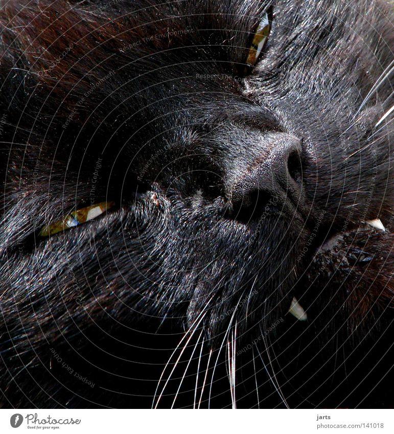 liebes biest schwarz Tier Auge Katze Angst Beleuchtung gefährlich Gebiss gruselig böse Haustier Säugetier Panik Schnauze Hauskatze Stofftiere