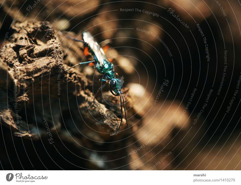 blauschimmernd Natur Tier türkis Insekt Ekel Flügel Käfer Farbfoto Nahaufnahme Detailaufnahme Makroaufnahme Unschärfe Tierporträt