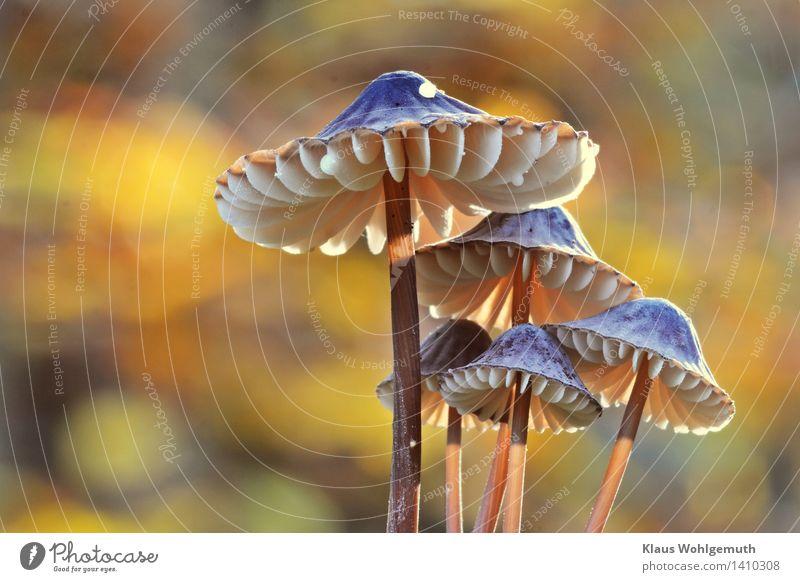 Sonnenschirmchen ruhig Umwelt Natur Pflanze Herbst Pilz Pilzhut Pilzkopf Wald leuchten stehen Wachstum schön blau braun gelb gold grau weiß Zusammenhalt Lamelle