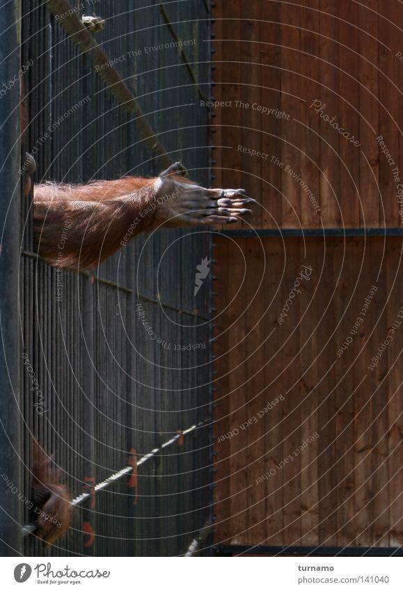 heimweh Affen Hand Tier Tierschutz Zoo Gitter Guten Tag Verzweiflung Heimweh Geisel Abschied Menschenaffen Orang-Utan gestikulieren Handfläche Trauer Wohnzimmer