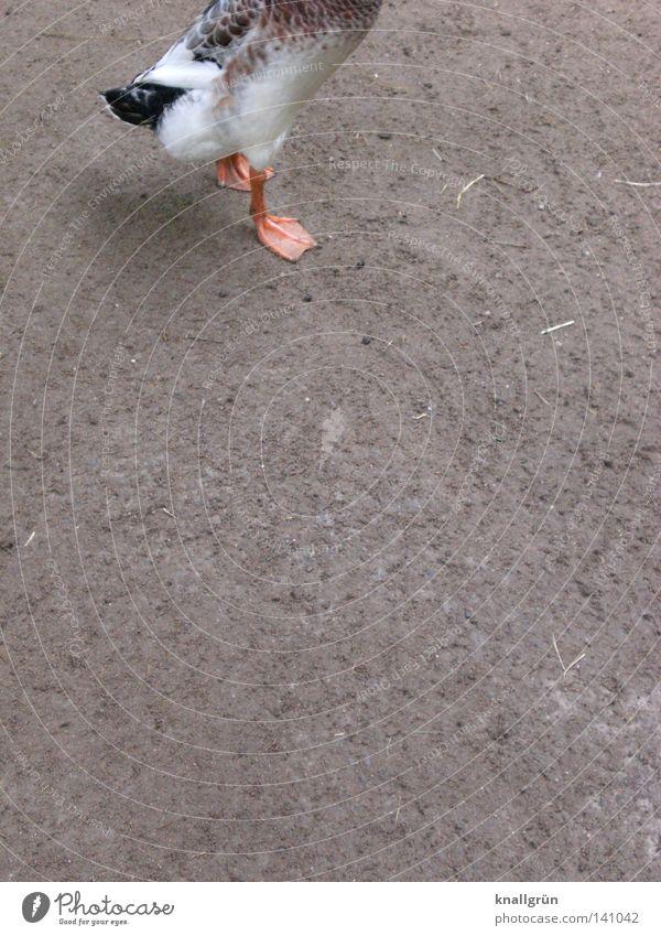 Laufente, stehend Stockente Thailand Entenvögel Tier Vogel Federvieh orange grau braun kopflos aufrechter Gang Indische Laufente Flaschenente Nutzrassen