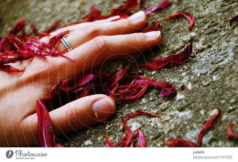 Vergänglichkeit. Hand Blütenblatt Rosenblätter Vergangenheit Steinboden Steinplatten grau rot violett Finger Fingernagel Daumen Zeigefinger Ringfinger