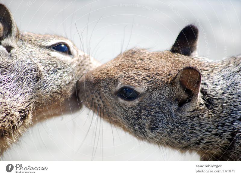 Geschwisterliebe Eichhörnchen Nagetiere Küssen Tier Zärtlichkeiten Zuneigung drücken Umarmen Liebe Liebespaar berühren Romantik Zusammensein Partnerschaft