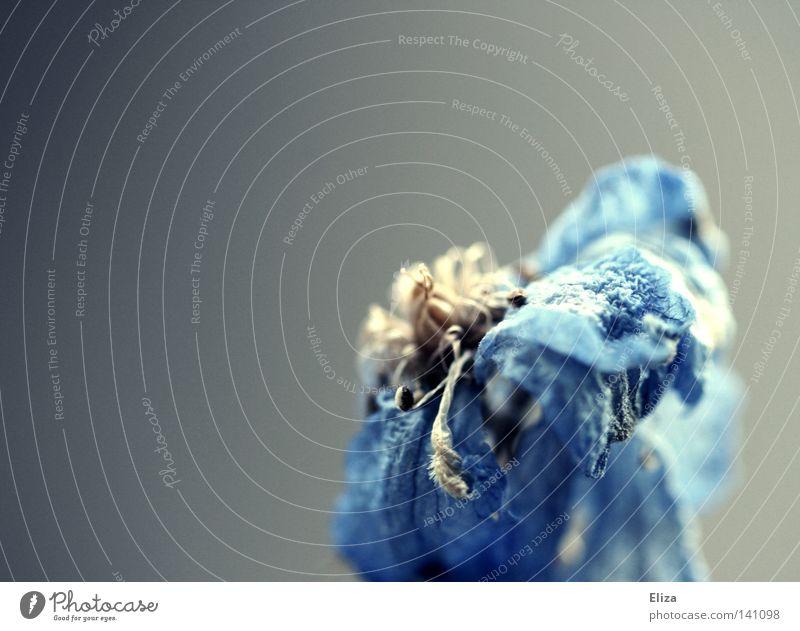 Nicht für die Ewigkeit trocken Blüte Blume durstig Sommer Physik blau grau flau immer Lampe Blühend Makroaufnahme Nahaufnahme Wärme Tod verblüht