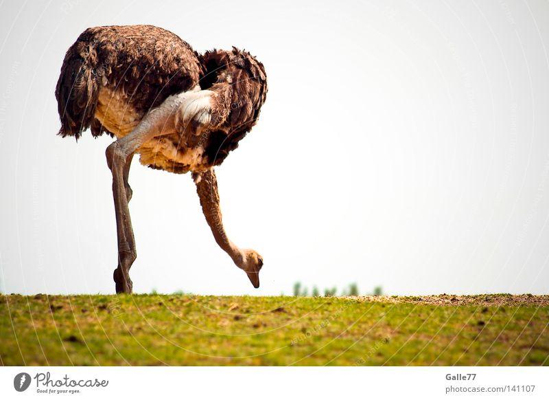 Bück Dich!!! Tier Beine Zufriedenheit Vogel Geschwindigkeit Körperhaltung Feder Kleid lang Afrika tief Blumenstrauß Richtung Haushuhn Blume Schwerpunkt