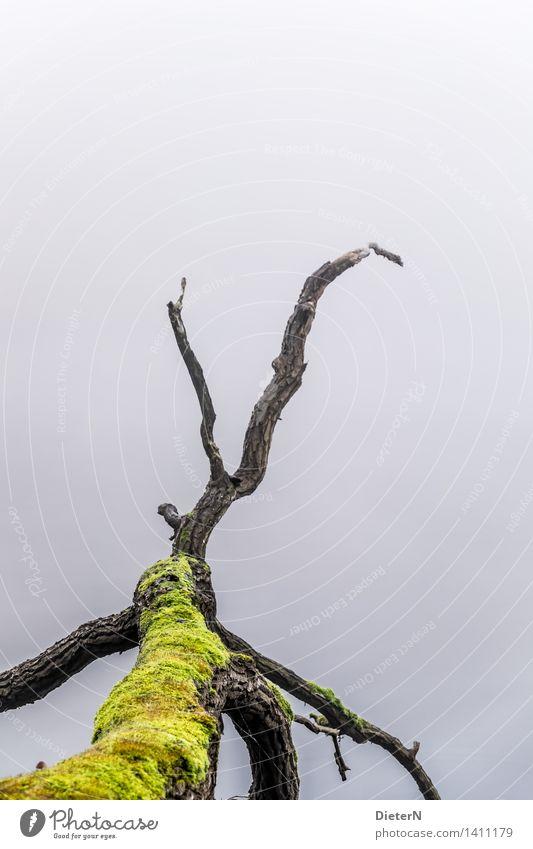 Krake alt grün Wasser Baum ruhig schwarz Herbst grau See Wetter Nebel Seeufer Flussufer Moos Totholz