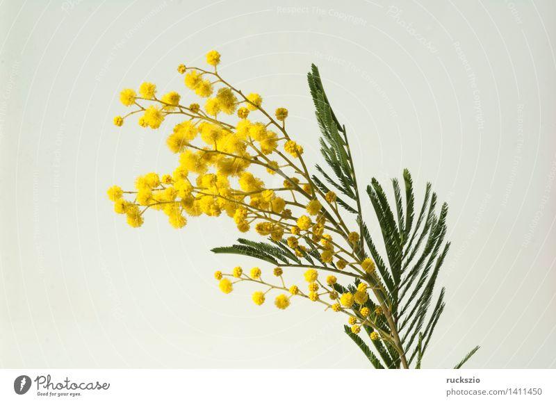 Silber-Akazie, Acacia dealbata, Bluehende, Natur Pflanze Baum Sträucher Blüte Park Wald Urwald Blühend frei gelb weiß Scham Mimose Mimosa Sinnpflanze